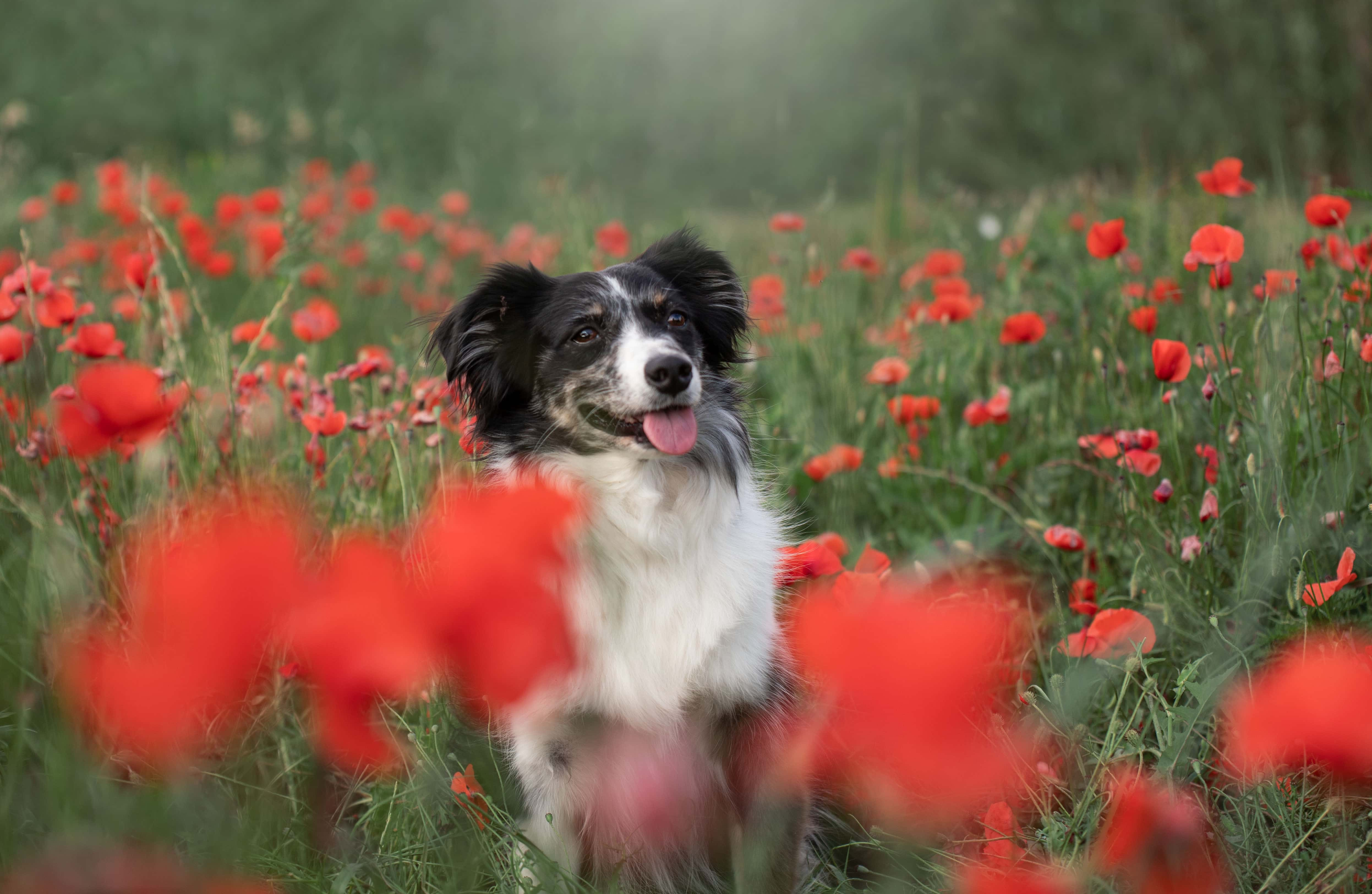 photo-canin-coquelicots