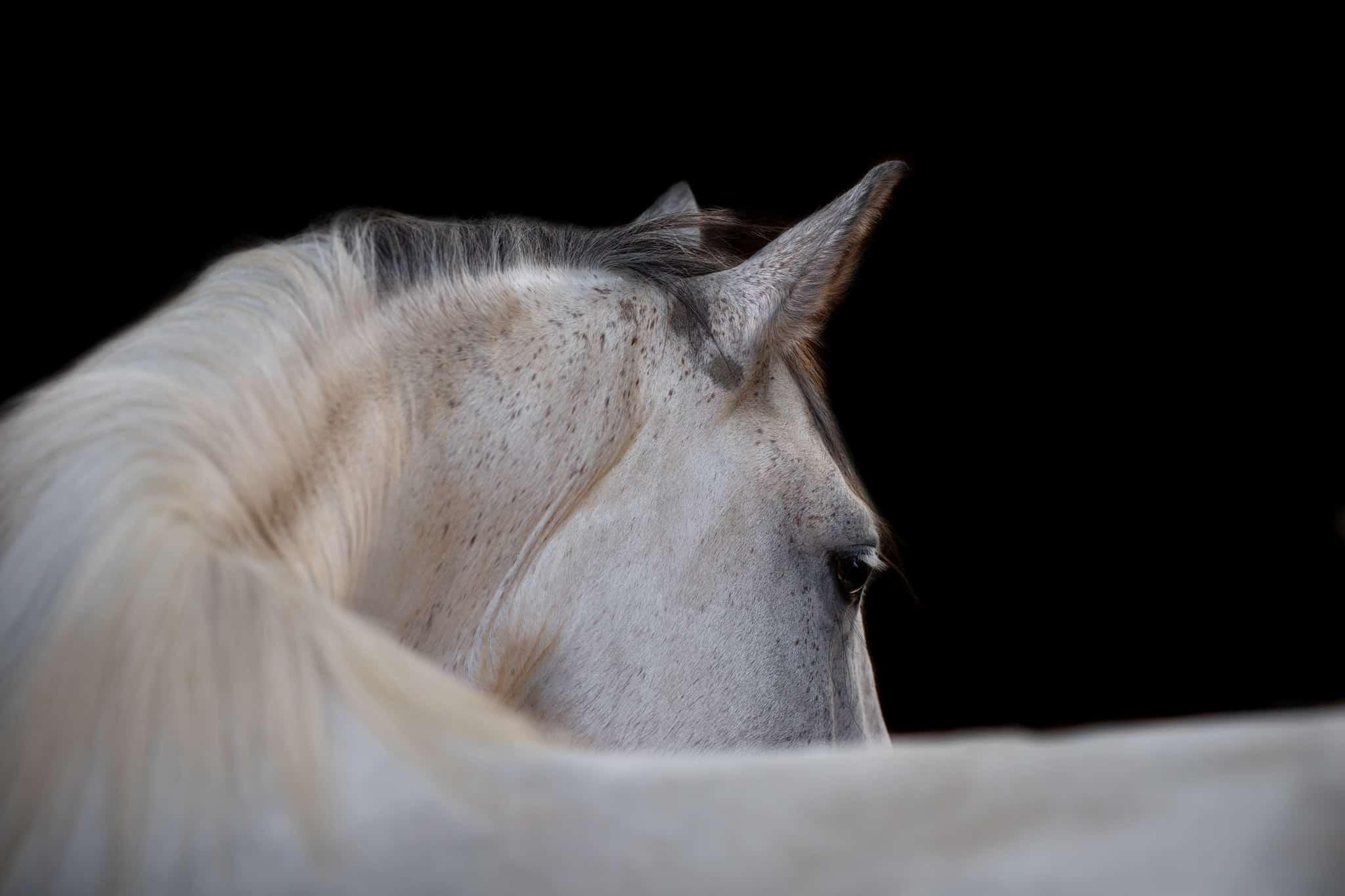 studio-portrait-cheval