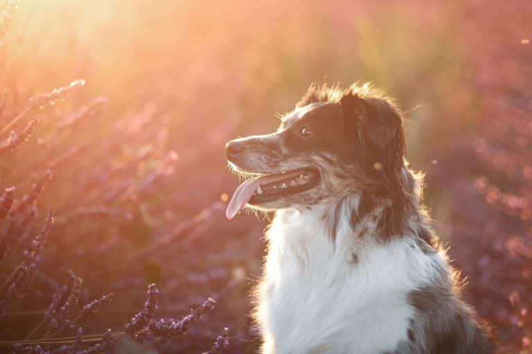 photographe-chien-lavandes