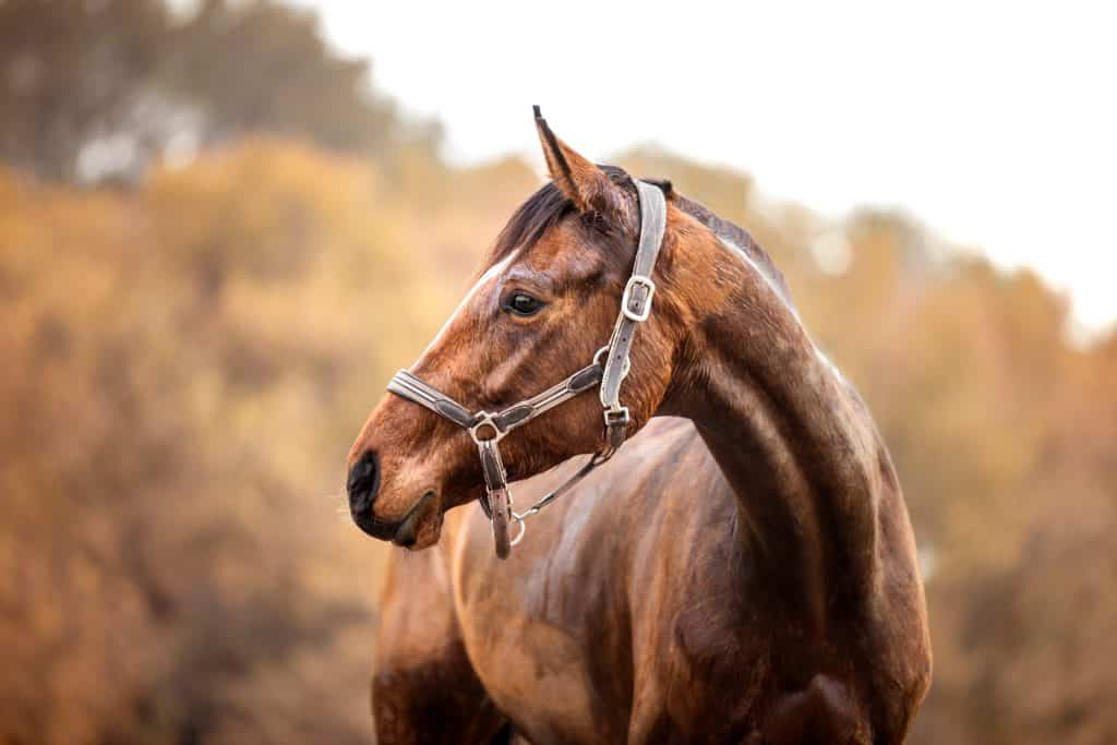 portrait-cheval-var