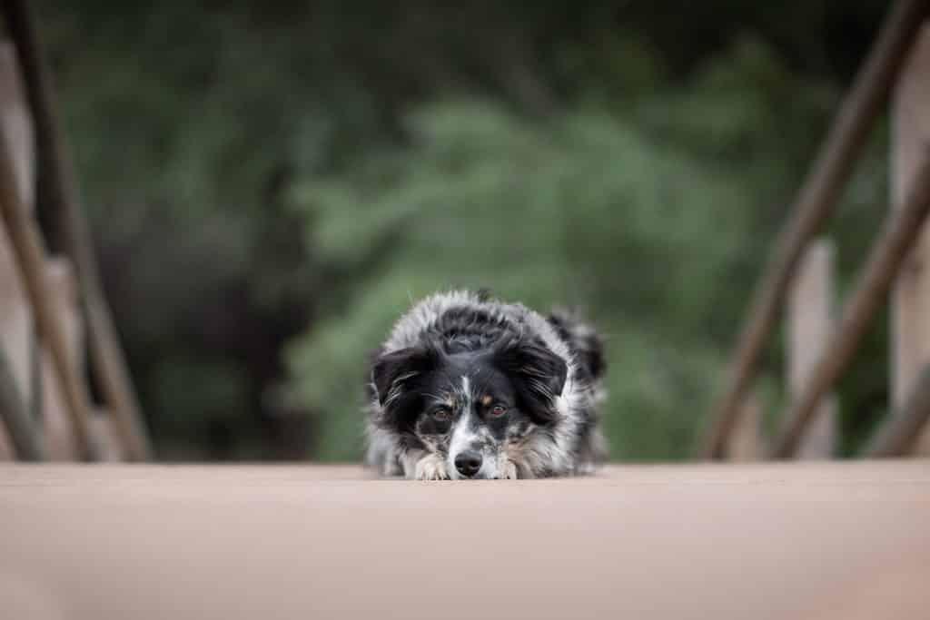 shooting canin berger australien en forêt à Draguignan