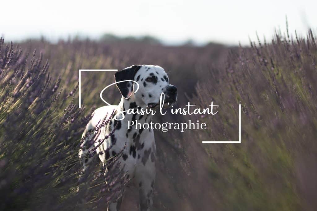 photographe canin à Valensole dans un champ de lavandes avec un chien dalmatien