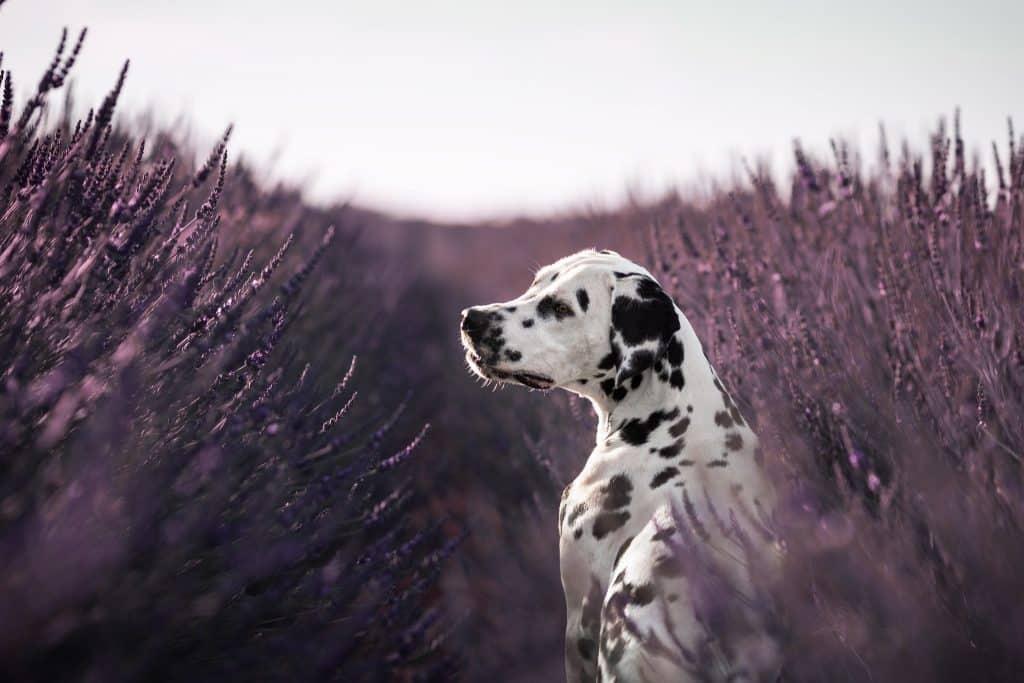 séance photo avec un chien dans les lavandes de Valensole