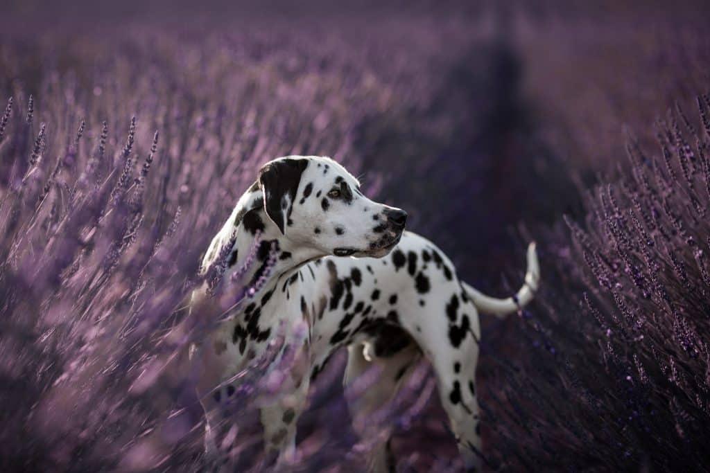 séance photo avec un chien dalmatien à Valensole