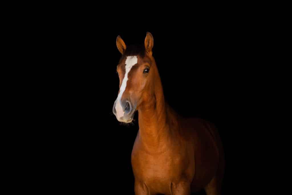 séance photo fond noir avec un cheval dans le Var