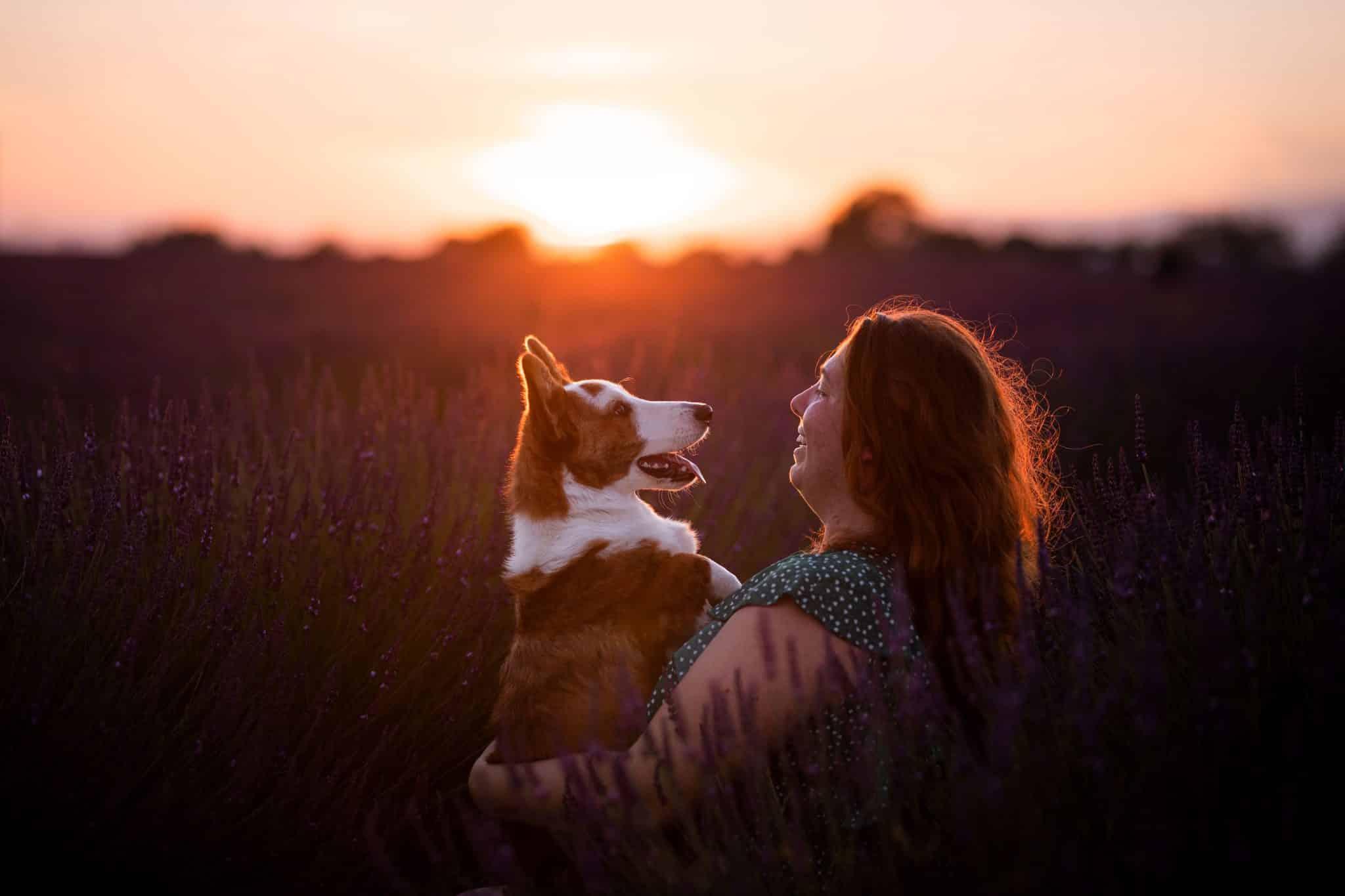séance photo à Valensole avec un chien dans les champs de lavandes