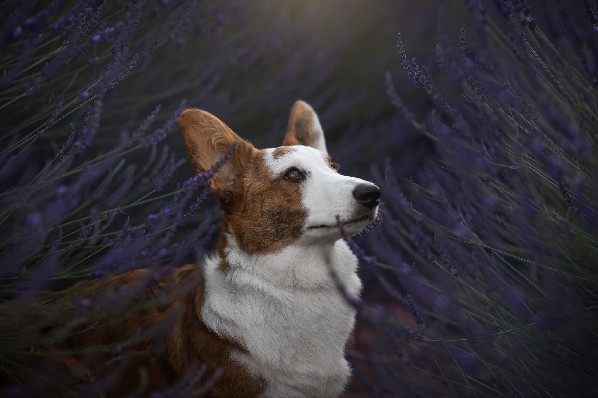 photographe canine alpes haute provence - séance photo canine